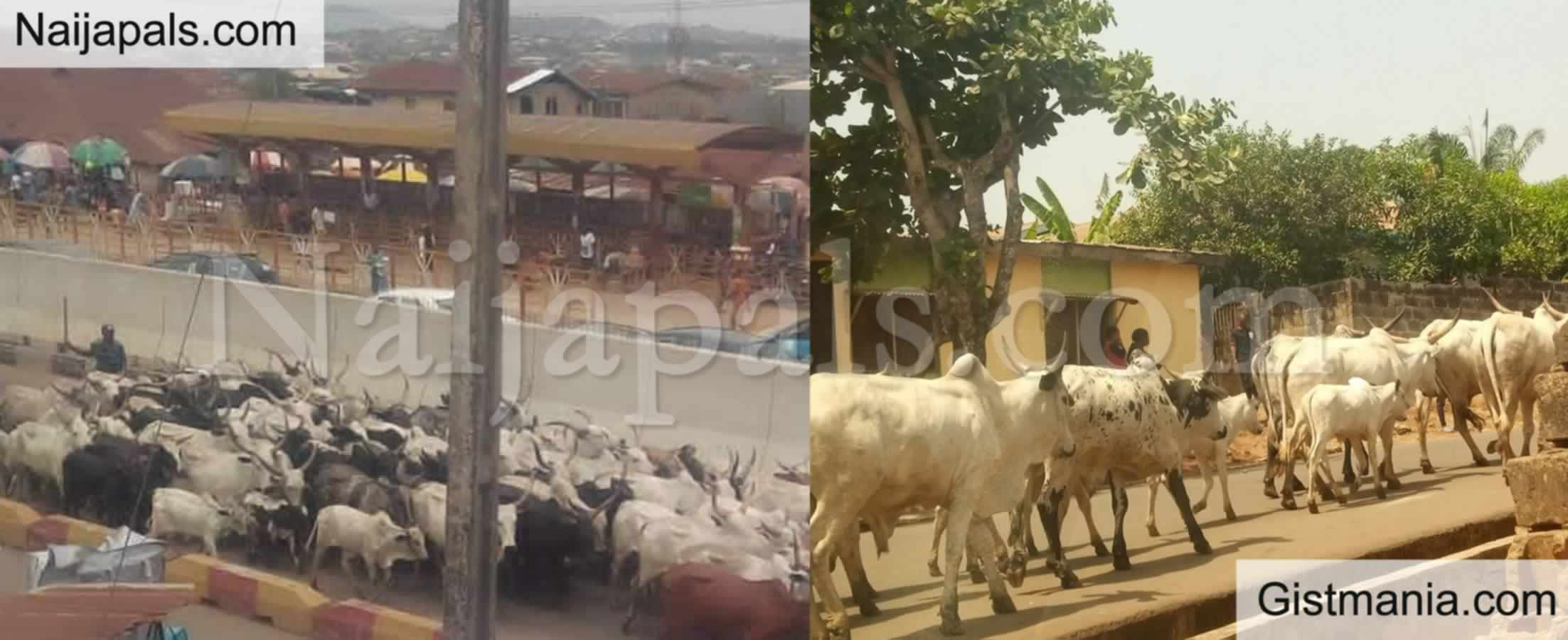 <img alt='.' class='lazyload' data-src='https://img.gistmania.com/emot/news.gif' /> <b>Amotekun Arrest Another Batch of Over 250 Cows For Destroying Farmlands in Ondo</b>