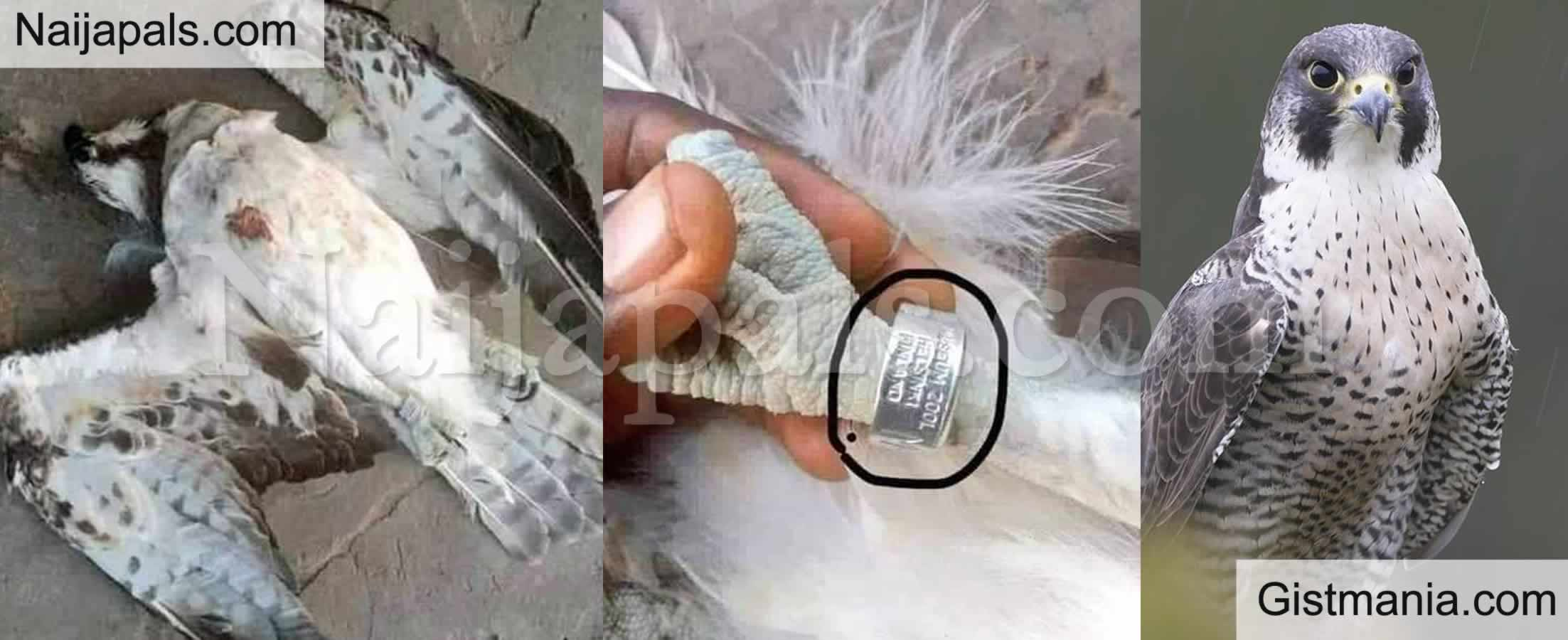 <img alt='.' class='lazyload' data-src='https://img.gistmania.com/emot/shocked.gif' /> <b>World's Fastet Bird, a Falcon Which Flew in From Finland, Killed in Delta State</b> (Photos)