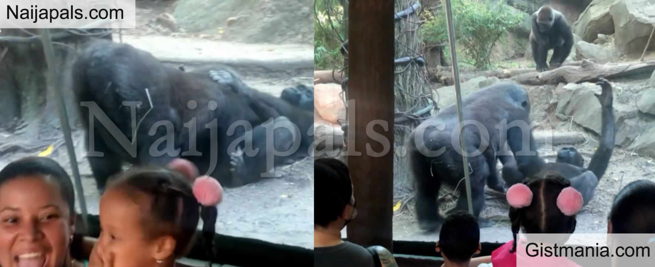 <img alt='.' class='lazyload' data-src='https://img.gistmania.com/emot/shocked.gif' /> VID: <b>Visitors In Shock As Gorilla Performs Oral S*x On His Partner While They Watch In The Zoo</b>