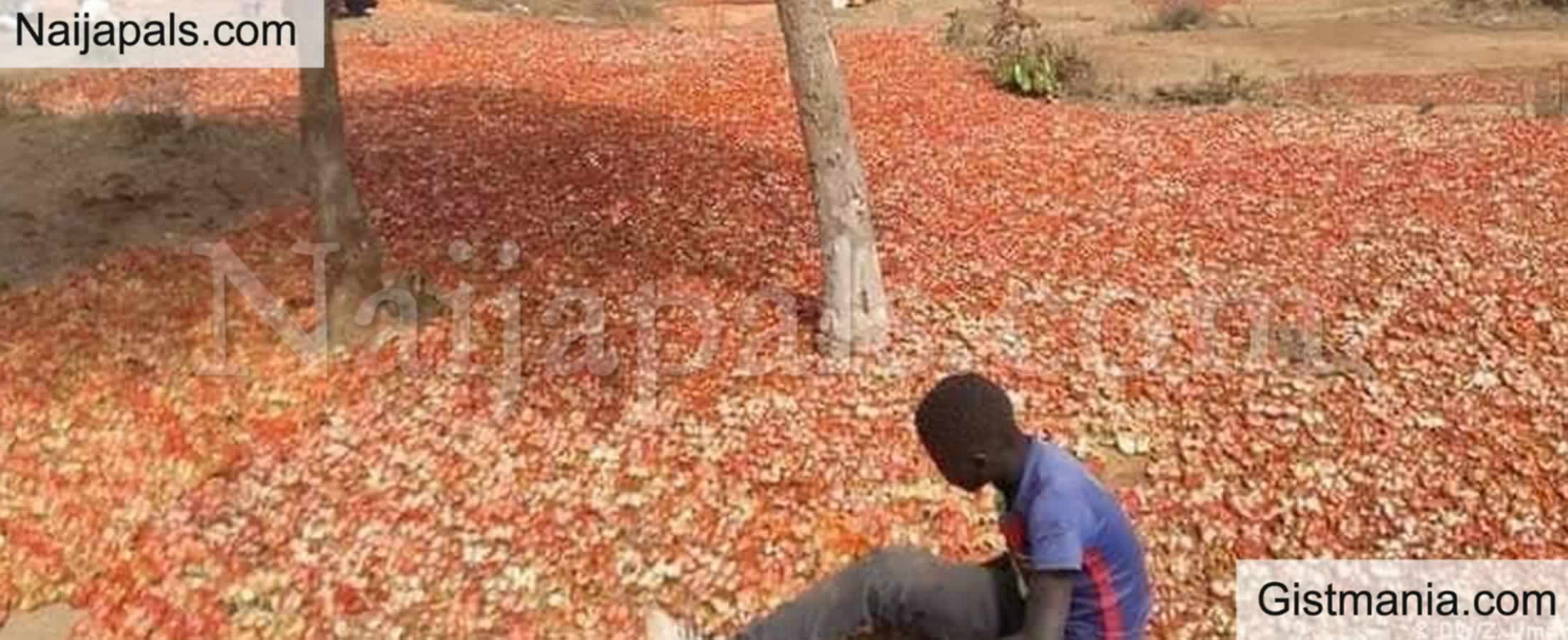 <img alt='.' class='lazyload' data-src='https://img.gistmania.com/emot/news.gif' /> <b>Northern Tomato Farmers, Traders Lose Over N10Billion in One Week, Cry Out for Help</b>